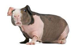 Porquinho da Índia Skinny