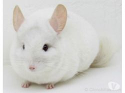 Chinchila Branca