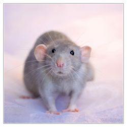 Rato Dumbo
