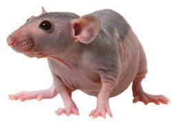 Rato Hairless