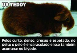 Porquinho da Índia Teddy