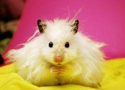 Hamster Sírio Angora