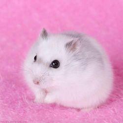 Hamster Campbell e Winter White